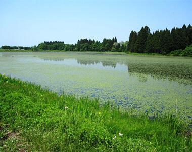 村山市富並のじゅんさい沼(大谷地沼)と田園風景